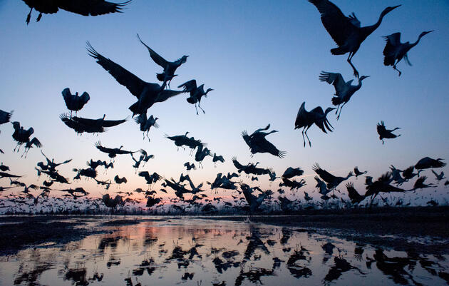 Thousands of Sandhill Cranes roost on the Platte River during their annual migratory stopover at Audubon's Rowe Sanctuary. Joel Sartore