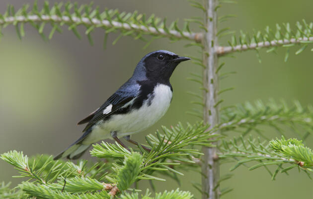 Managing Forests for the Birds
