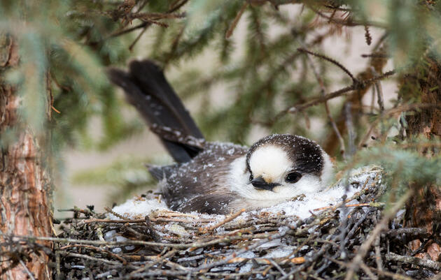 Thanks To Climate Change, Canada Jays May Eat Freezer-Burned Food All Winter