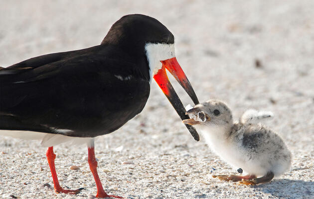 Disturbing Photo Shows a Black Skimmer Feeding a Cigarette Butt to Its Chick