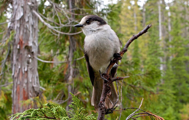 The Gray Jay Will Officially Be Called the Canada Jay Again