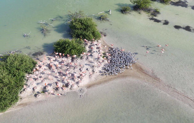 Drone photo of a West Indian Flamingo survey in the Bahamas. Mark Klein