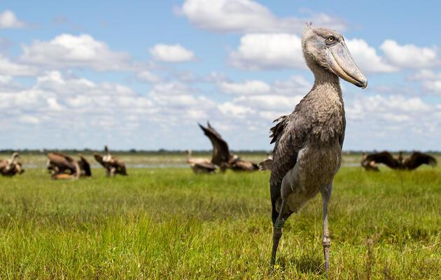 From Canoes, Fishermen Guard Africa's Famous Shoebills Against Poachers