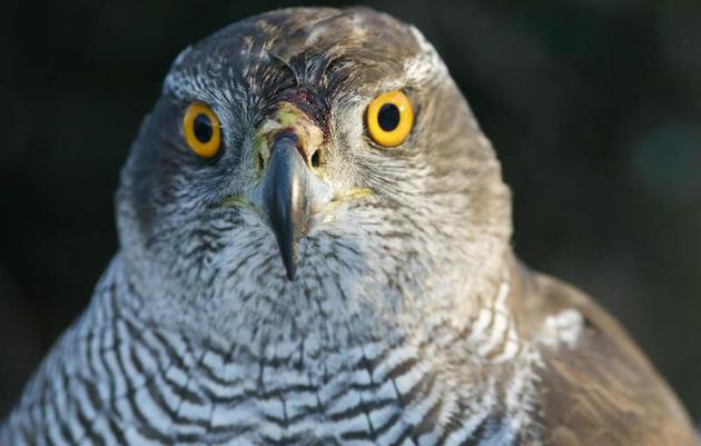 The Northern Goshawk, An Esteemed Bird of Prey