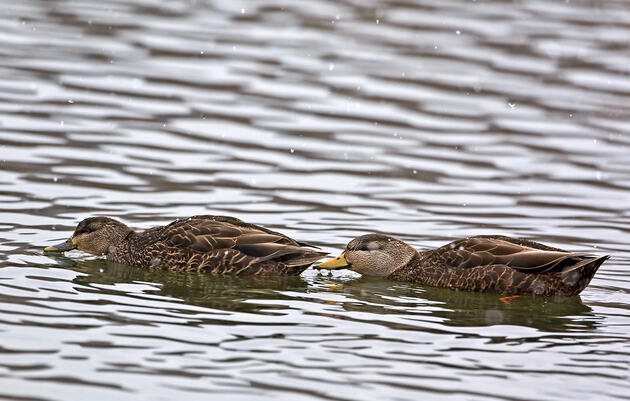 Ducks Are Moving North as Winters Warm