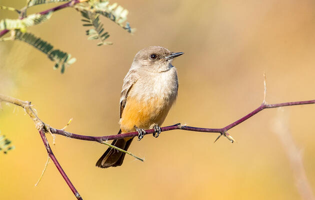 Do You Know the West's Two Phoebes?