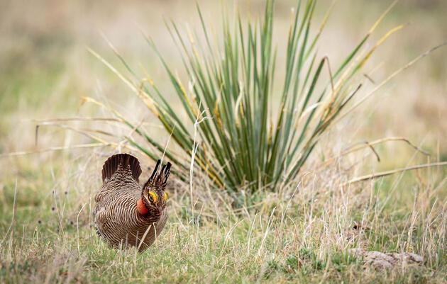 Lesser Prairie-Chicken. Doug Kliewer/Audubon Photography Awards