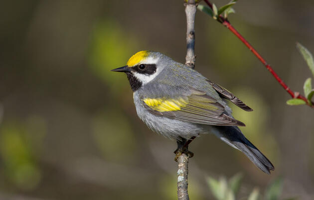 Golden-winged Warbler. Arni Stinnissen/Audubon Photography Awards