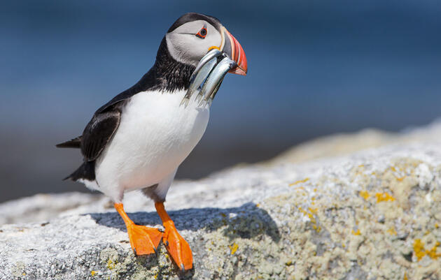 Audubon Applauds New Protections for a New England Fish That Seabirds Rely On