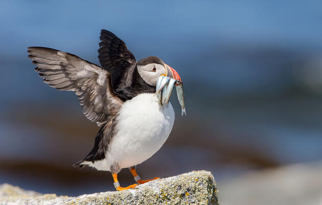 More Food on the Table for New England's Puffins and Terns