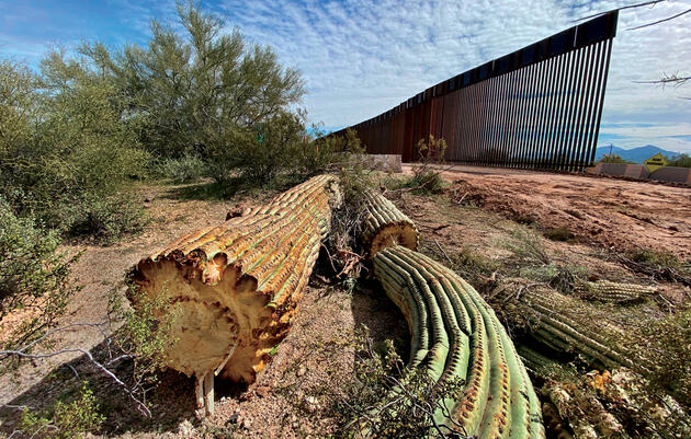 A February 2020 photo shows one of the saguaro cacti destroyed at Organ Pipe Cactus National Monument to make way for the border wall. Laiken Jordahl