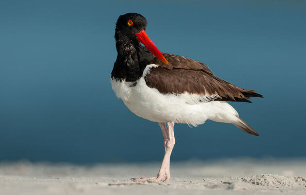 Audubon Urges Beachgoers to Give Birds Their Space Too