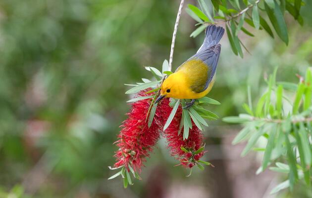 Prothonotary Warbler. Anne Lindgren/Audubon Photography Awards
