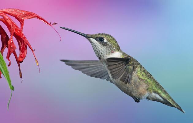 A Ruby-throated Hummingbird flies towards a Monarda didyma, commonly known as Scarlet beebalm. Randy Streufert/Audubon Photography Awards