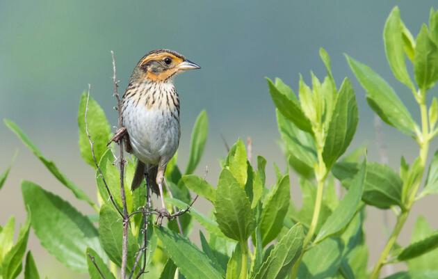 Saltmarsh Sparrow. Frank Lehman/Audubon Photography Awards