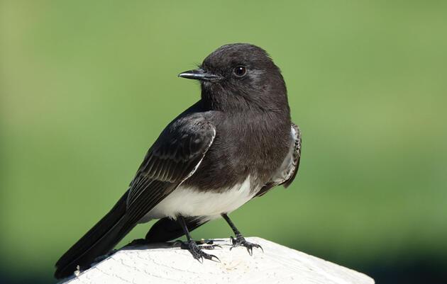Black Phoebe. Marie Jorgensen/Great Backyard Bird Count