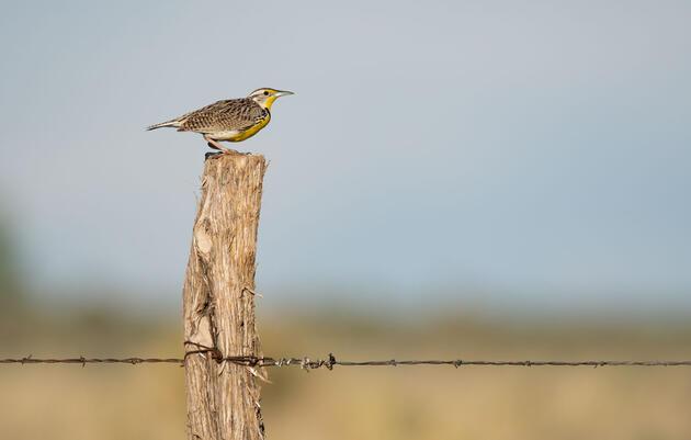 Bird Friendliness Index Shows Audubon Conservation Ranching is Bringing Grassland Birds Back