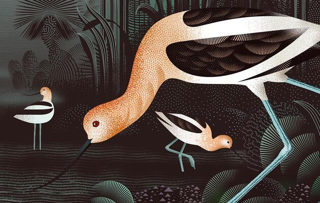 American Avocet by Phil Wheeler