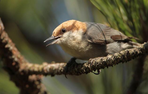 Brown-headed Nuthatch on a Longleaf Pine. Matt Tillet/Flickr (CC BY 2.0)