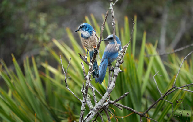 This pair of Florida Scrub-Jays could help boost the genetic diversity of a struggling population in the Sunshine State. Carlton Ward