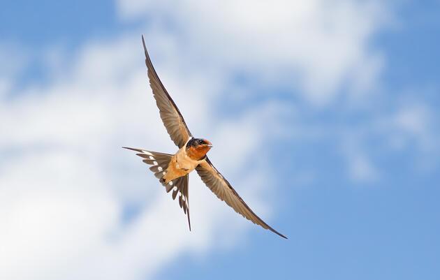 Barn Swallow. Melissa Groo