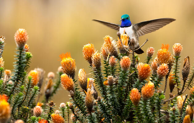 The Blue-throated Hillstar, which is only about five inches in length, feeds on the flowers of a Chuquiraga plant in Ecuador. Murray Cooper