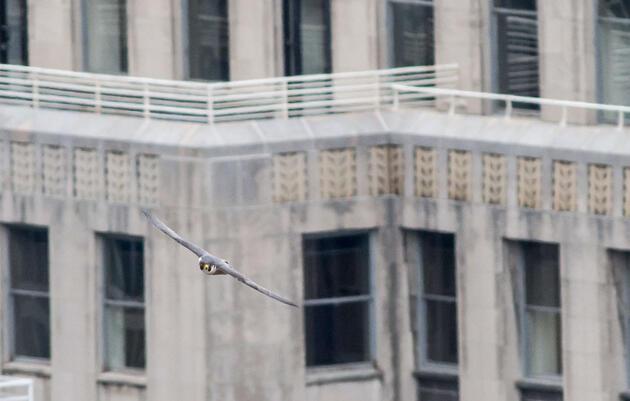 Peregrine Falcon in front of Philadelphia's city hall. George Armistead