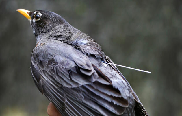 American Robin Migration Remains Surprisingly Mysterious to Scientists