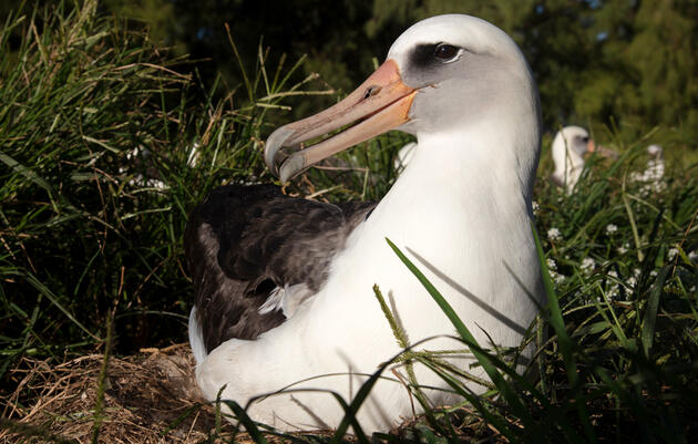 Wisdom sits on her egg on Midway Atoll in January. She shares incubation duties with her long time mate, Akeakamai, and hunts squid and fish out at sea in her off time. Jon Brack/USFWS