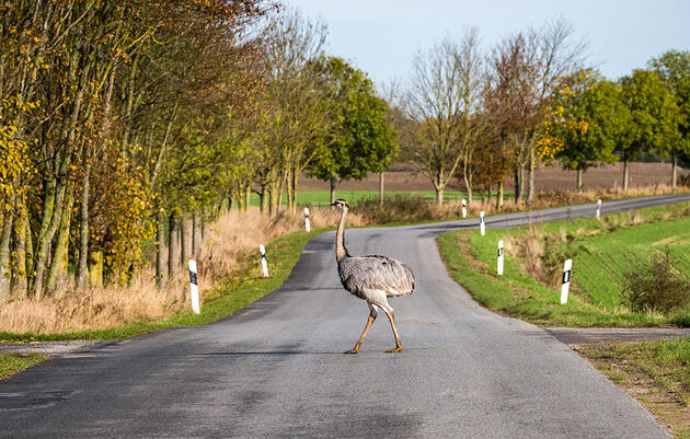Inside Germany's Giant, Hungry, Flightless-Bird Problem