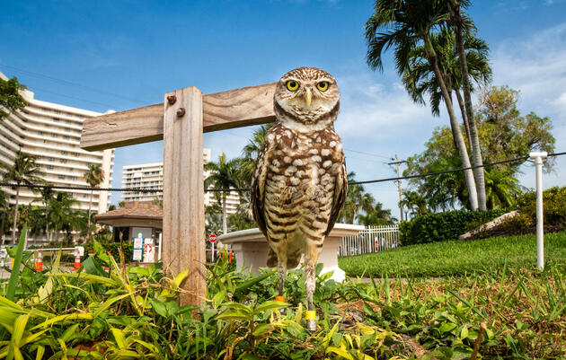 Where Burrowing Owls Are Your Neighbors