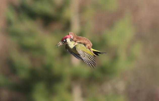 The Weasel That Could