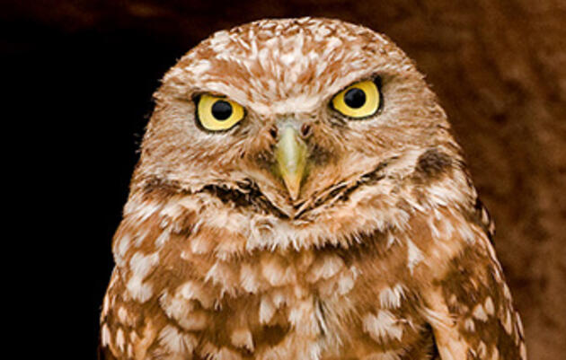 Listen to Burrowing Owls Hiss Like Rattlesnakes