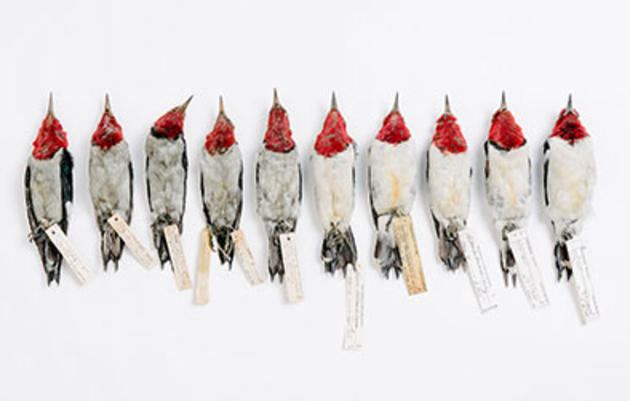 Sooty Feathers Tell the History of Pollution in American Cities