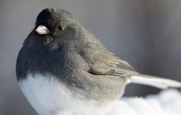 Juncos Are the Original Snowbirds