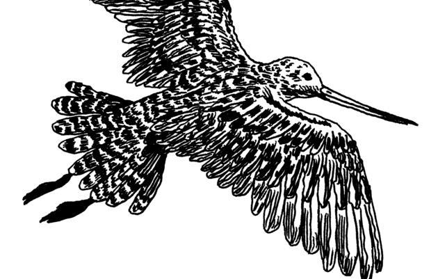 The Bar-Tailed Godwit