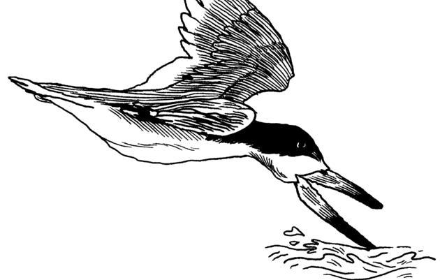 The Black Skimmer