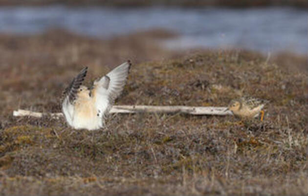 Administration Rushing to Drill in Arctic Refuge