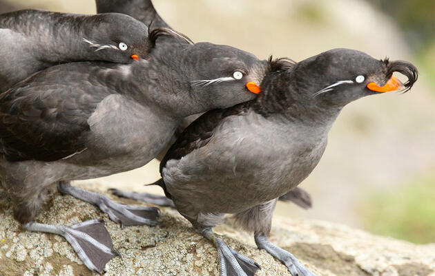 Better Know a Bird: The Wild and Kinky Mating Rituals of the Crested Auklet
