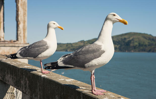 Alcatraz Is Being Overrun by Seabirds, But Who's Complaining?