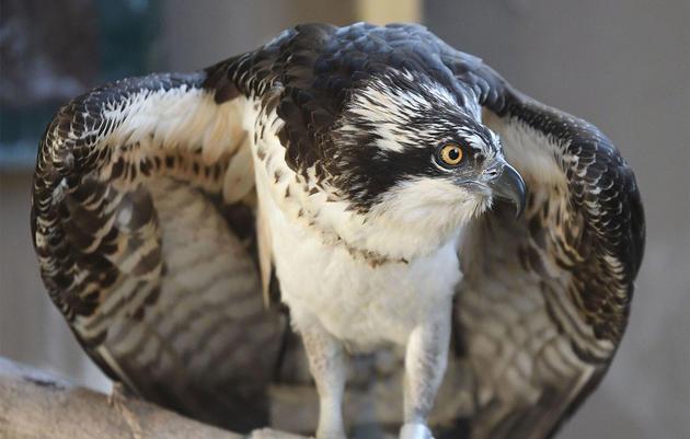 The Saga Continues for Bailey, the Beleaguered Hog Island Osprey