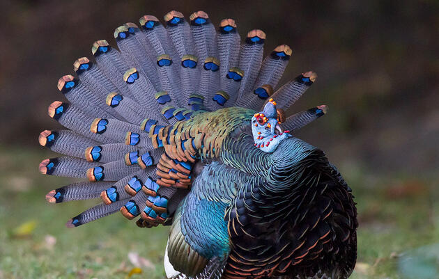 The Wild Blue Turkey That Blew My Mind