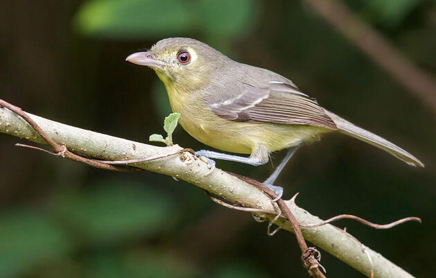Four Vireos Worth Chasing in the U.S.