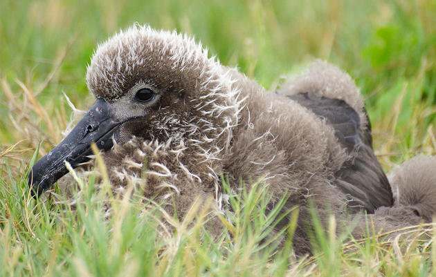 Meet Nine, a Fledgling Albatross That Could One Day Help Save Her Species