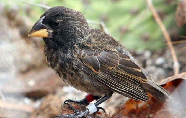 Galapagos Finches Are Proving to Be the Poster Birds of Evolution Again