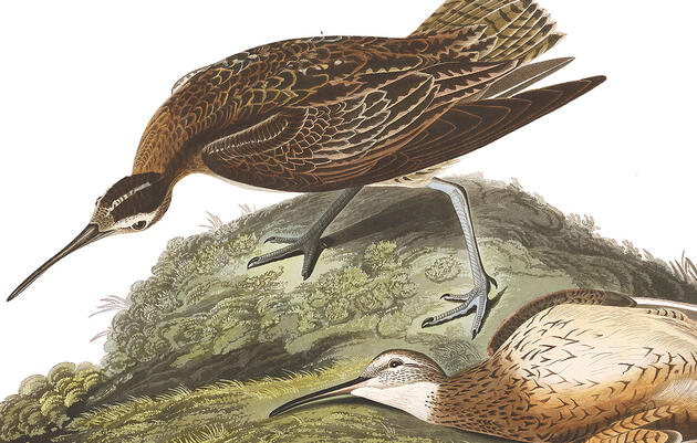 The Eskimo Curlew Hasn't Been Seen in 55 Years. Is It Time to Declare It Extinct?