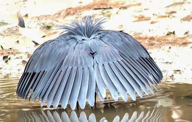 Watch a Black Heron Fool Fish by Turning Into an Umbrella