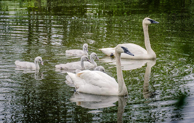 Led by Tribal Scientists, Montana's Trumpeter Swan Revival Is a Triumph