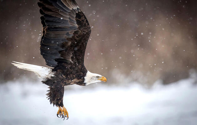 Six Tips for Photographing Bald Eagles
