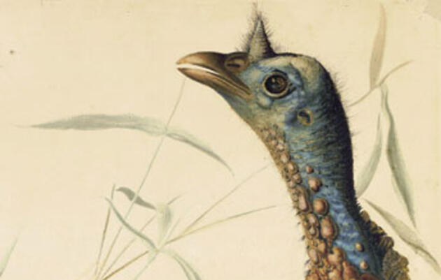 Just in Time for Thanksgiving: A New Audubon Exhibit With the Gallant Wild Turkey as the Lead